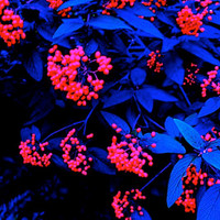 Red Berries Glowing in the Moonlight Surreal Midnight Garden Cobalt Sapphire Leaves Unusual Plant Botanical Dark Romance Photography Print
