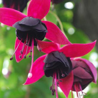 50 Two-tone Color Petals Fuchsia Flower Seeds Potted Plants Hanging Rare Exotic Home Garden Decor Colorful