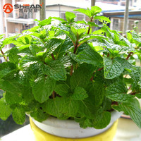 Plant Mint Green Vegetable Seeds Balcony Potted Peppermint Aromatic Plant Seeds About 200 Pieces / lot