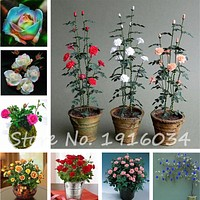 100pcs/bag Mini Rose Tree Bonsai Seed Beautiful Yard Flower Easy to Grow Pretty For Home Garden DIY Potted Plant