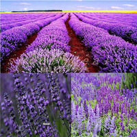 20pcs/bag Seeds Fresh Flowers Seeds of Endearing Purple Lavender