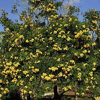 Yellow Trumpet Tree Seeds (Tecoma stans) 25+Seeds