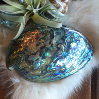 Polished Paua Abalone Shell