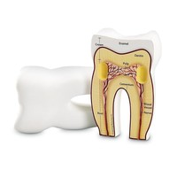 Tooth Cross Section Model