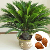 Free Shipping 1 Seeds Pack Cycas Seeds Potted Seed Flower Seed Variety Complete The Budding Rate 97%