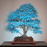 20 bonsai blue maple tree seeds  Bonsai tree seeds. rare sky blue japanese maple seeds Balcony plants for home garden