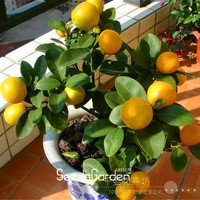 Promotion!10 Seed /Pack ,Lemon seeds, potted balcony, planting seasons, sprouting 95%(Kaffir Lime),#8TEAO5