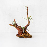 10% SALE Air Plant Driftwood Garden - Beach Combed from Mexico with Clump Cluster Plants