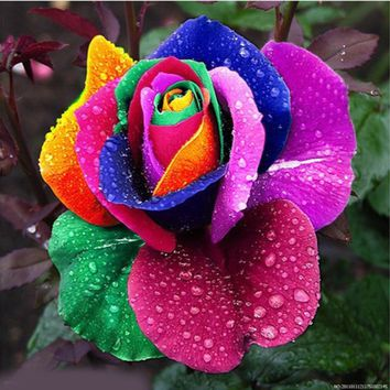 Charming 500Pcs Colorful Rainbow Rose Flower Seeds Multi Color Perennial Decor*