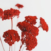 Pack of 10 - Dried Yarrow in Red