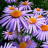 Aster Wartburg Star Flower Seeds (Aster Tongolensis) 50+Seeds Zones 4-8