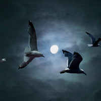 Gulls by the Light of the Moon A Fantasy Fine Art Wall Decor Photograph