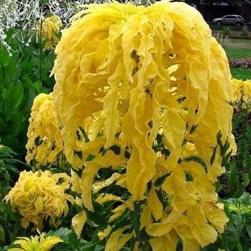 Amaranthus Joseph's Coat Seeds (Yellow) 200+ Seeds Zones 3-10