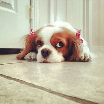 Dog Hair Bows: Red and White Polka Dot with A Pearl