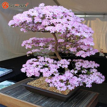 Japanese Sakura Seeds Bonsai Flower Cherry Blossoms Cherry Tree Ornamental Plant  10 Particles / lot