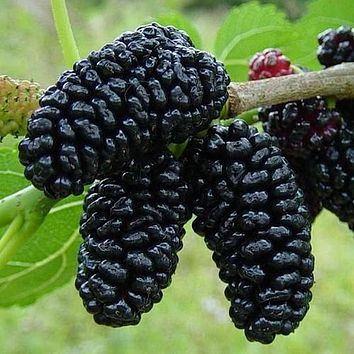 Black Mulberry Bush Seeds (Morus nigra) 50+Seeds