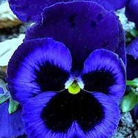 Pansy Giant Ullswater Flower Seeds (Viola Wittrockiana) 50+Seeds