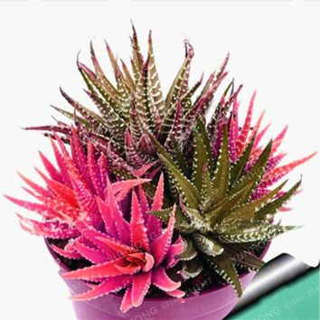 On Sale!! 100 Rare African Cactus Bonsai Mixed Succulent Tree Plant Purify Air Bonsai Resistant Heat Easy Care Creative + Gifts