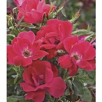 Shop 1-Gallon Knock Out Rose (L10923) at Lowe's