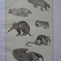Sepia print - Armadillos and Ant-Eaters - 1911
