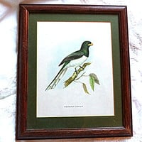 Framed John Gould Vintage Exotic Bird Print Trogon Gigas 10.5 x 12.5 Ornithology Green English Country Professionally Framed Wall Art