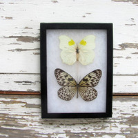 Vintage Framed pressed Butterflies. Specimen box with 2 butterflies. Wall hanging picture