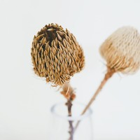 Pack of 2 - Dried Banksia Protea