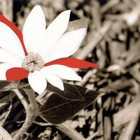 hand colored photo, holiday decor, sepia art, flower photo, photography, red and white