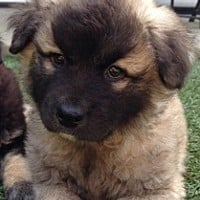El Segundo, CA - Australian Cattle Dog/Belgian Shepherd Mix. Meet Willie a Puppy for Adoption.