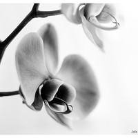 Black and white photography flower photography monochrome neutral wall art modern wall decor 8x12 fine art print floral wall decor orchid