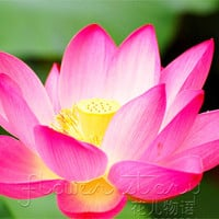 10 Seeds Red Latern Lotus Seeds Water Plants Fragrance Aquatic Flowers
