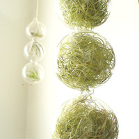 spring green 3 globes filled with airplants by SASSYspaces on Etsy