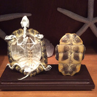Articulated Turtle Skeleton Natural Shell