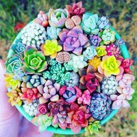 100PCS Mixed Beauty Succulents bonsai plant Easy To Grow Mini Potted Flower plant bonsai plant for Home Garden Plant