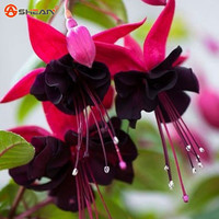 Purple Double Petals Fuchsia Seeds Potted Flower Seeds Potted Plants Hanging Fuchsia Flowers 50 Particles / Bag