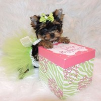Affectionate Teacup Yorkie Puppies For Sale