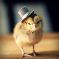 Chicks in Hats Magnet This Will Make Your Refrigerator Happy