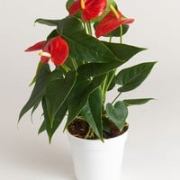 LIVE Anthurium Indoor House Plant - Ships Alone