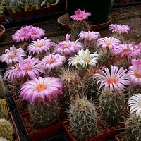 Glory of Texas Cactus Seeds (Thelocactus bicolor) 20+Seeds