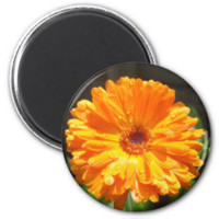 Sunny Calendula Raindrops Magnets
