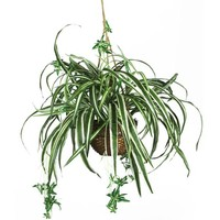 Spider Hanging Basket Silk Plant
