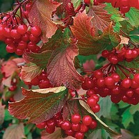 American Highbush Cranberry Seeds (Viburnum trilobum) 20+Seeds Zones 2-7