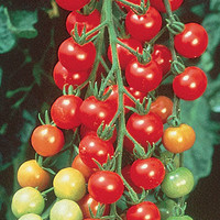 Super Sweet 100 Hybrid Tomato Seeds and Plants, Vegetable Gardening at Burpee.com