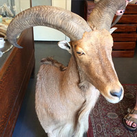 Barbary Sheep Mount