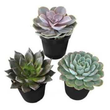 9 cm. Echeveria Plant (3-Pack), 0881005 at The Home Depot - Mobile