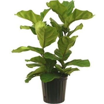 Delray Plants, 8-3/4 in. Ficus Pandurata Bush in Pot, 10PAN at The Home Depot - Tablet