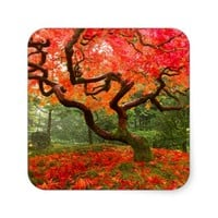 Flame Red Maple Tree