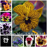 24 colors 50pcs/pack Mexican pansy seeds  Wavy Viola Tricolor Flower Seeds bonsai potted plant DIY home & garden Free shipping