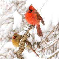 Cardinal - Pair of Cardinals - Love  Birds - Birds in Snow Storm - Red Birds - Nature Art - New York Cardinal - Wall Decor - Bird Photograph