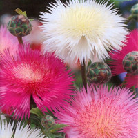 Sweet Sultan Imperialis Mix Flower Seeds (Amberboa moschata) 100+Seeds
